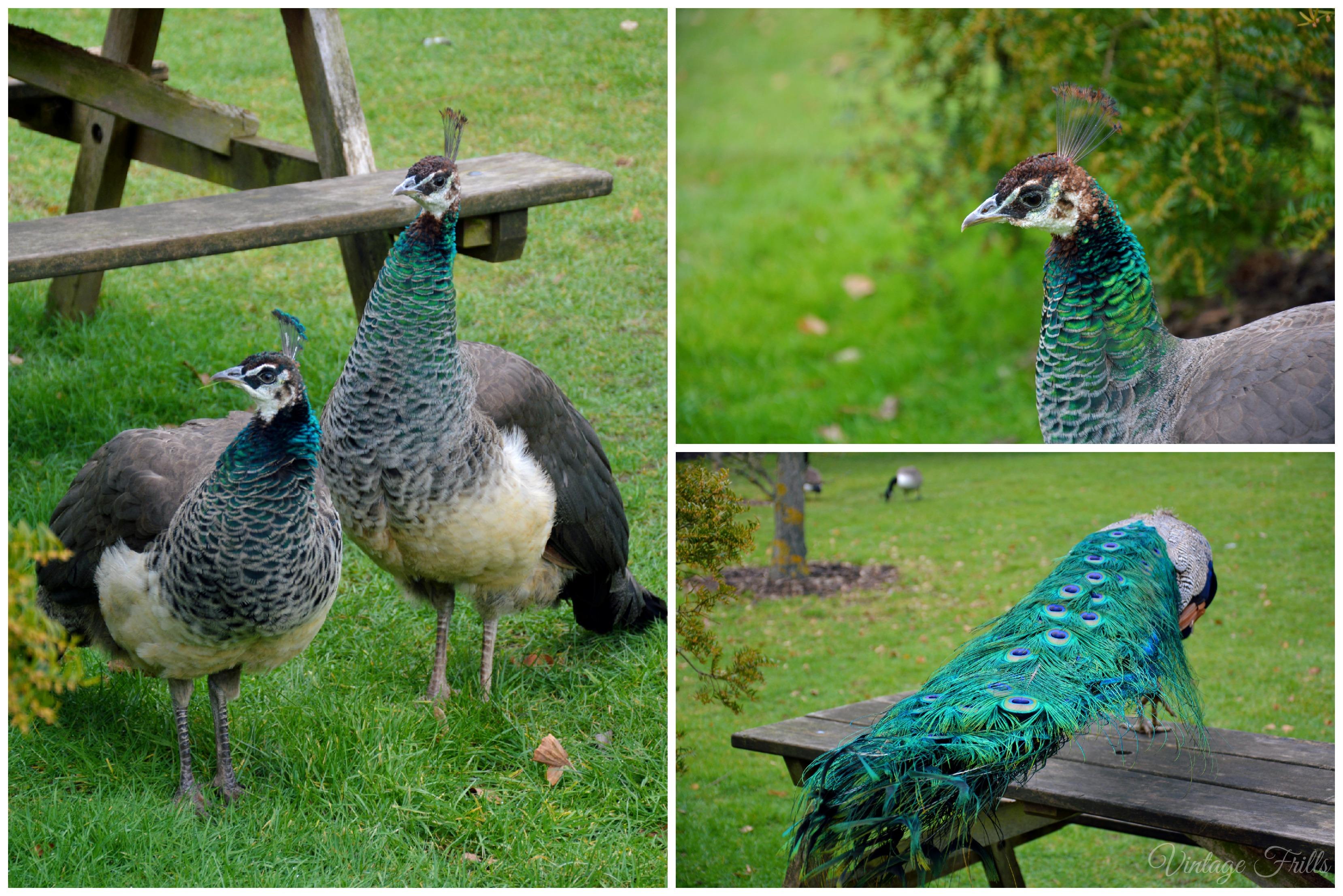 Kew Gardens Female Peacocks