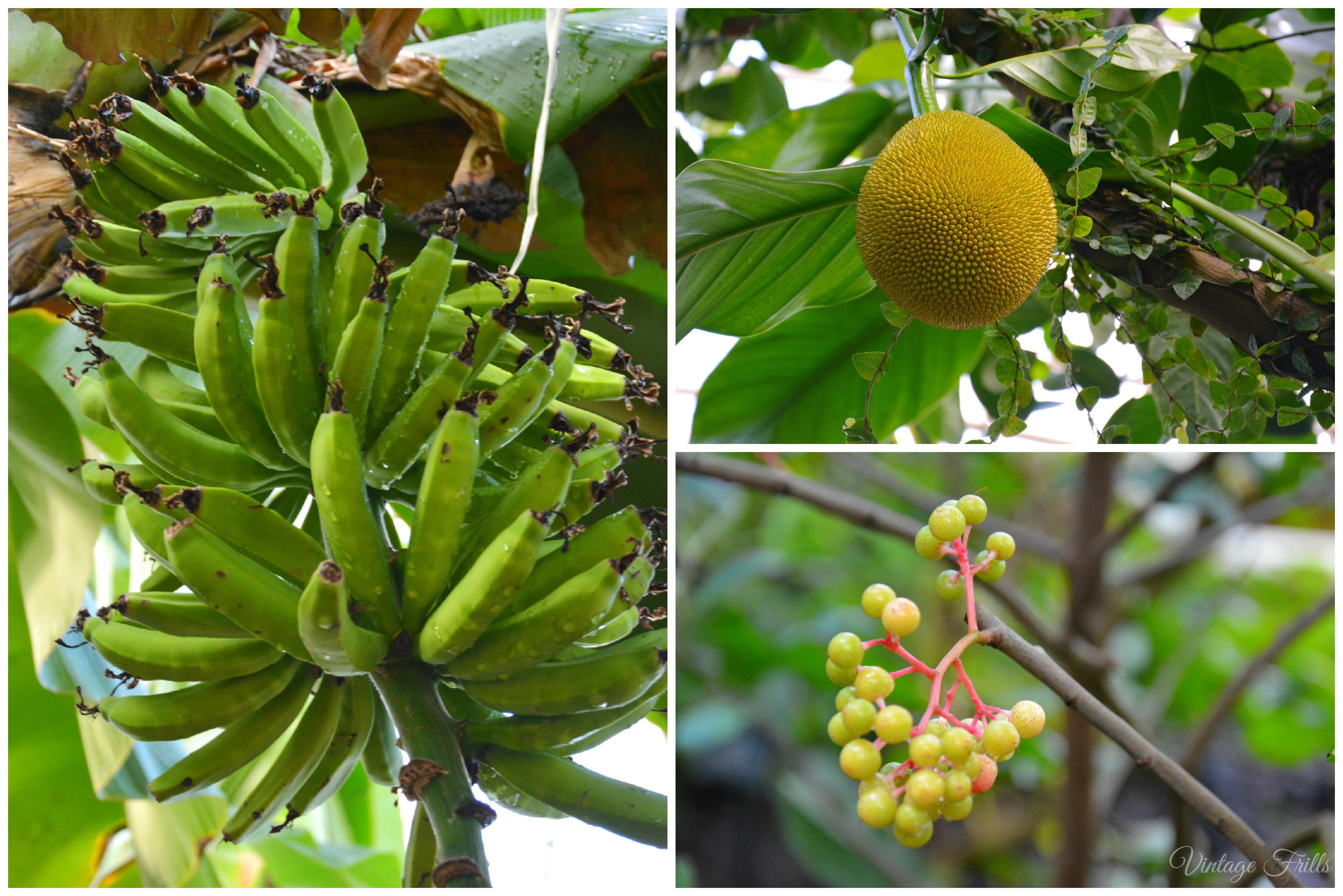 Kew Gardens Palm House Bananas