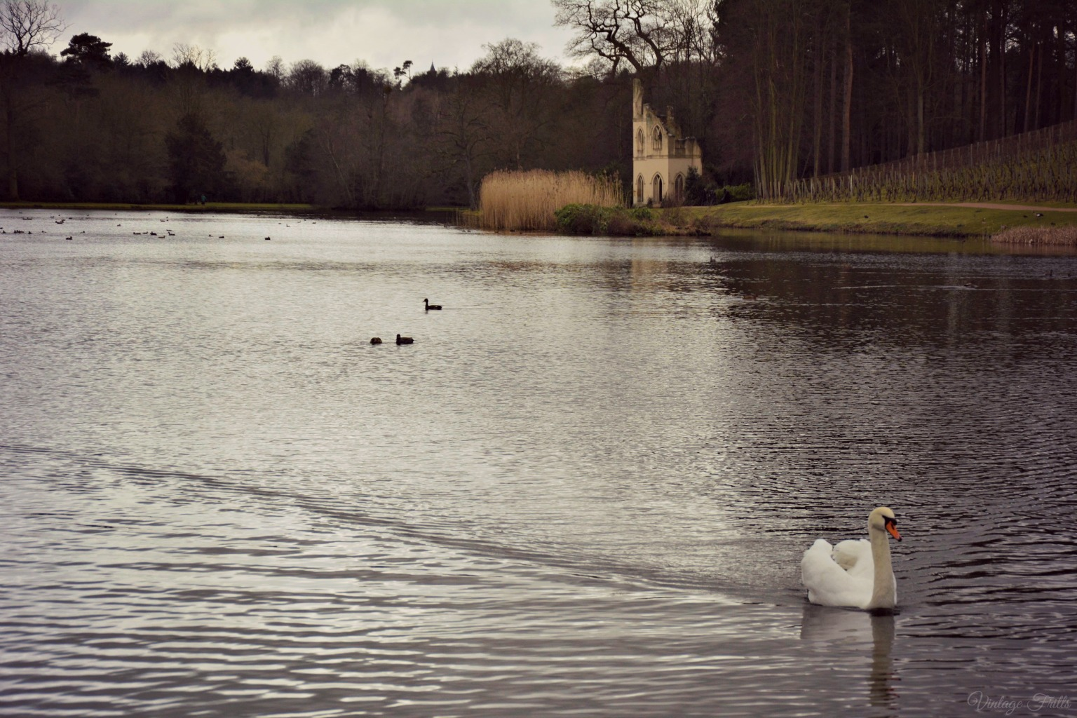 Painshill Lake and Swan