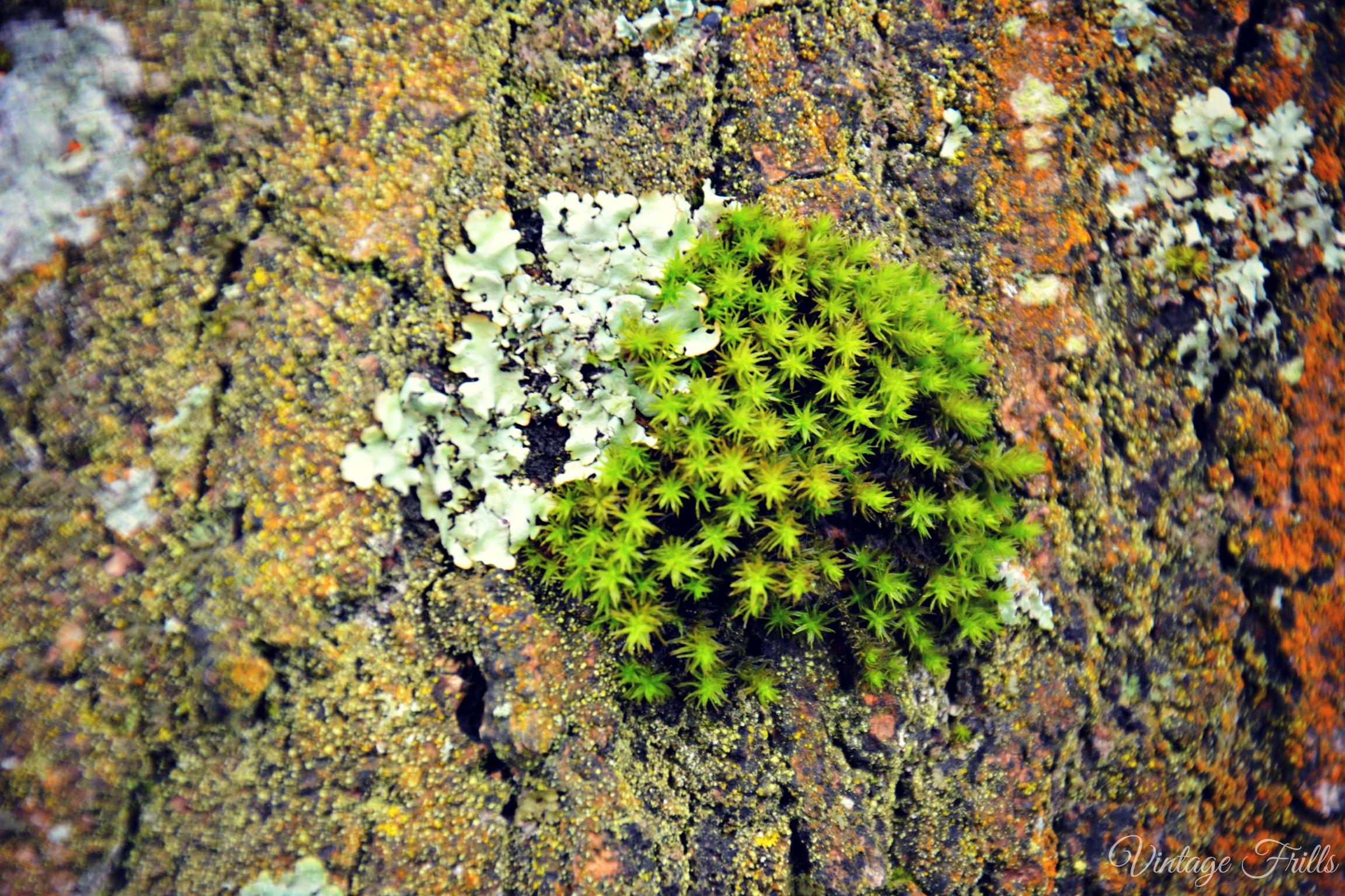 Painshill Lichen