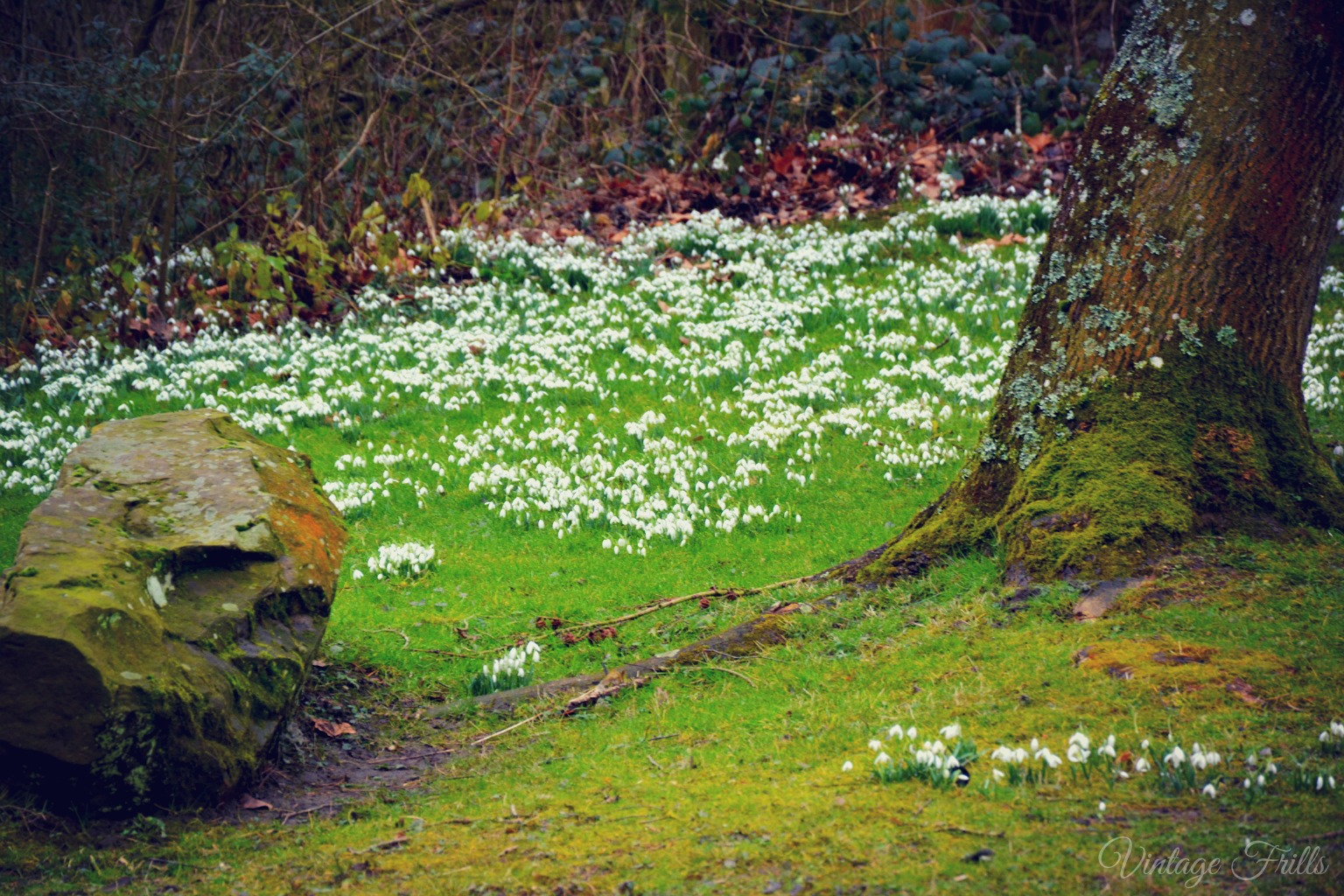 Painshill Snow Drops